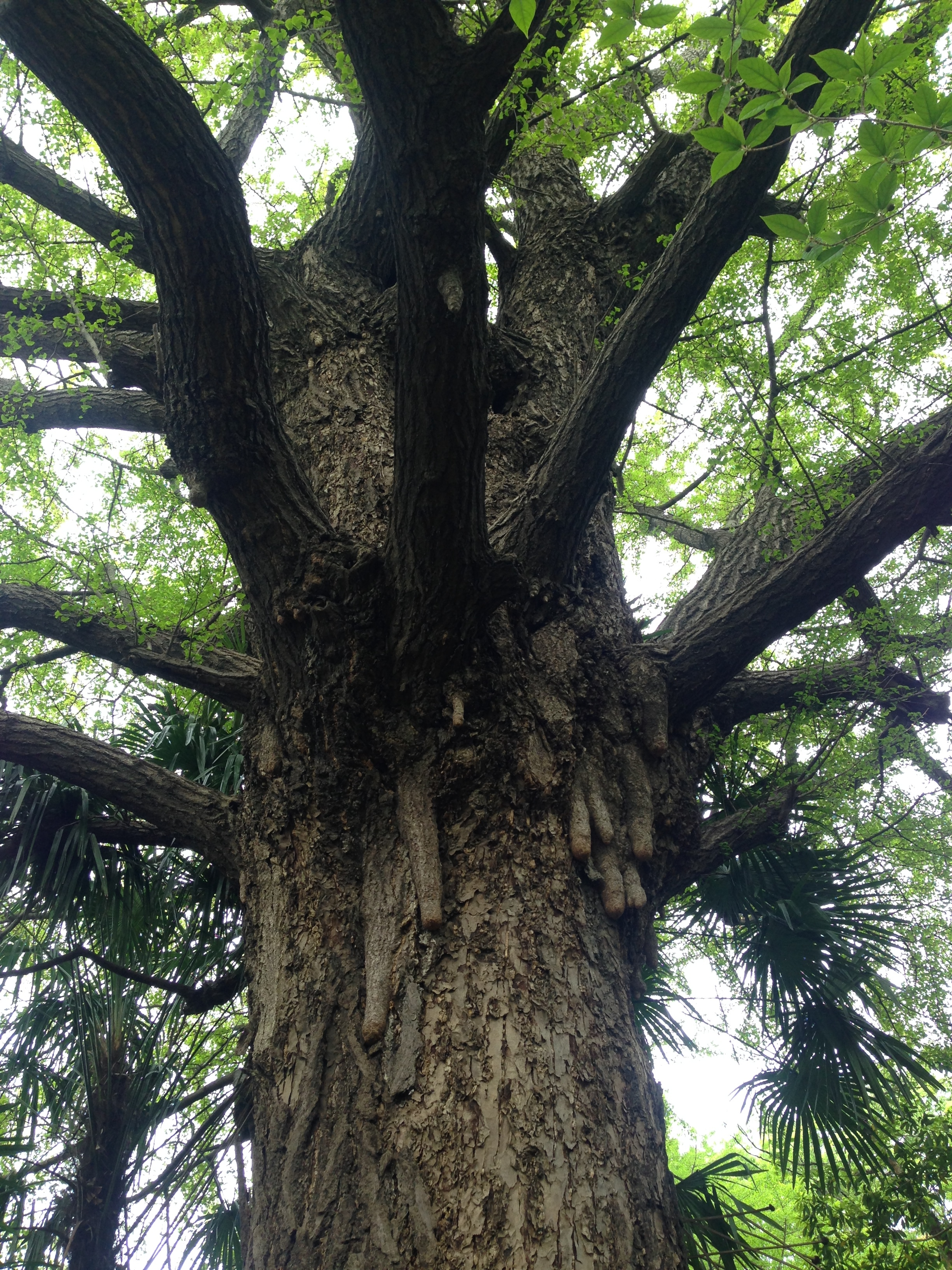 壁纸 树 榕树 2448_3264 竖版 竖屏 手机