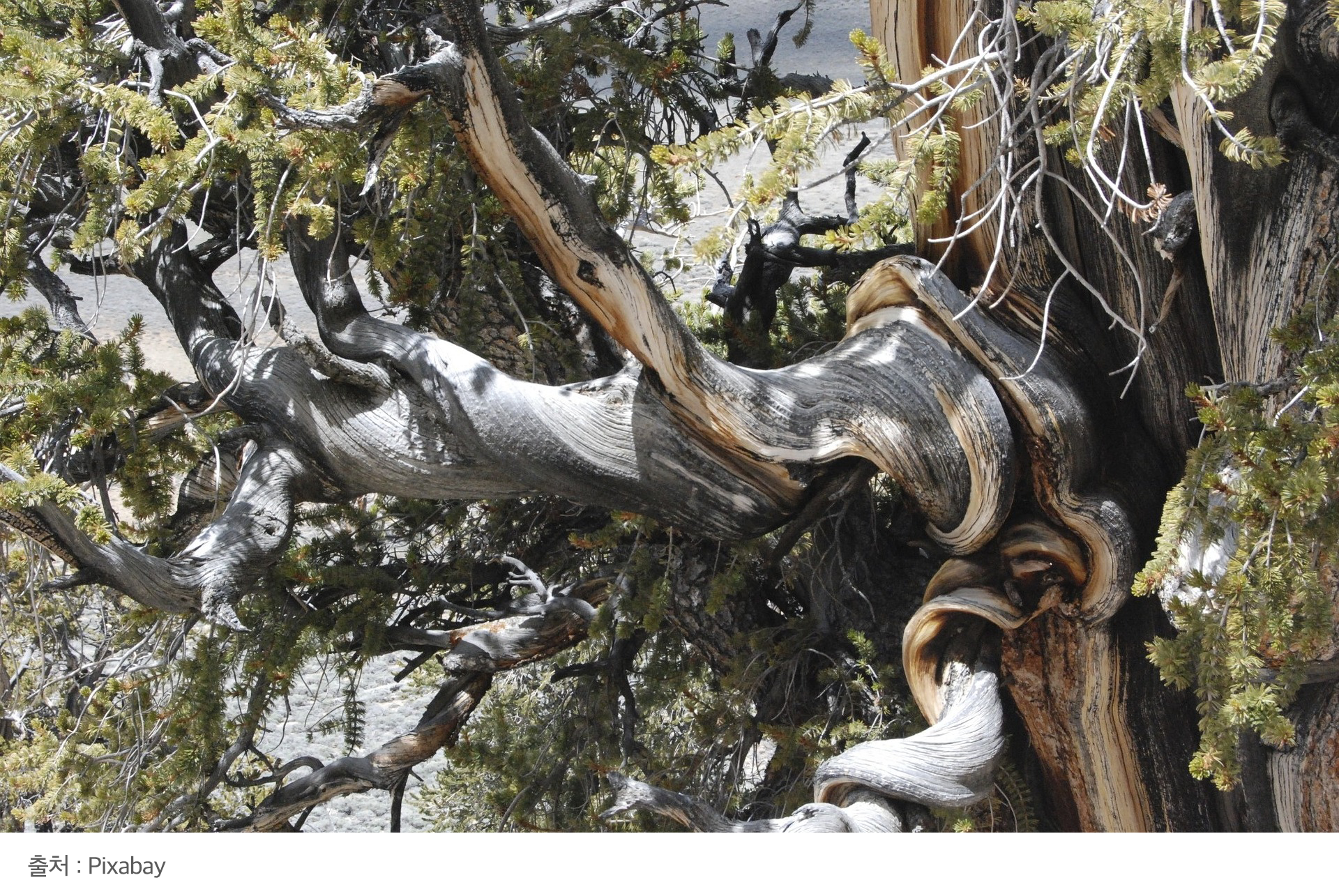 Bristlecone pine.png
